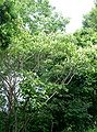 Mallotus japonicus4.jpg