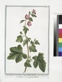 Malva Africana, arborescens, semper florens, floribus rubris, Ribesii folio - Malvone - La grande Mauve (NYPL b14444147-1124970).tiff