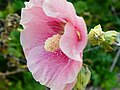 Malvaceae Alcea rosea - Stokroos 02.jpg