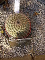 Mammillaria lindsayi.jpg