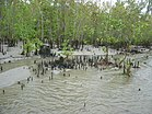 Mangrove Forest in Kuakata Sea Beach Patuakhali Bangladesh (4).JPG