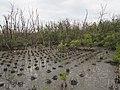 Mangrove plantation.jpg