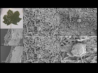 Powdery mildew - Powdery mildew on a maple leaf as seen under a scanning electron microscope