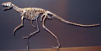 Dinosaur - Skeleton of Marasuchus lilloensis, a dinosaur-like ornithodiran