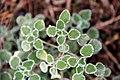 Marrubium vulgare (24314678534).jpg