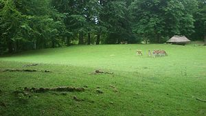 Marselisborg Deer Park - Fouraging roe deer in the Marselisborg Deer Park