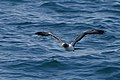 Masked Booby (5041606742).jpg