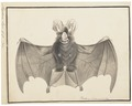 Megaderma lyra - 1700-1880 - Print - Iconographia Zoologica - Special Collections University of Amsterdam - UBA01 IZ20700107.tif