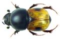 Megatelus contractus Klug, 1845 Syn. Aphodius (Megatelus) contractus Klug, 1845 (8281105947).png