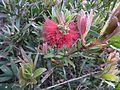 Melaleuca comboynensis flowers.jpg