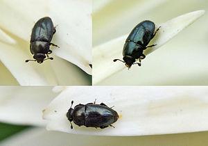 kleine schwarze kriechende insekten wer weiss. Black Bedroom Furniture Sets. Home Design Ideas