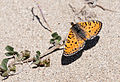 Melitaea trivia fascelis - Lesser Spotted Fritillary 03.jpg