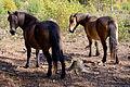 Merlin & Elfin Exmoor ponies.jpg