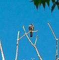 Merlin - Flickr - wackybadger.jpg