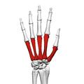 Metacarpal bones (left hand) 02 dorsal view.png