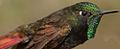 Metallura iracunda (Perija Metaltail) (15240600441) (3).jpg