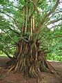 MetasequoiaGlyptostroboides.jpg