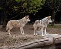 Mexican Wolf 25.jpg