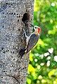 Mexico-5815 - Red-bellied Woodpecker (4629475368).jpg