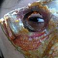 Mi ojo en un Pargo.jpg