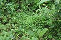 Microstegium vimineum 5503509.jpg