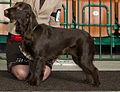 Miezynarodowa wystawa psow rasowych katowice 2012 5.jpg