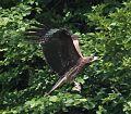 Milvus migrans lineatus capturing Rhacophorus arboreus.jpg