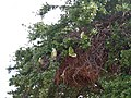 Monk parakeet nest (cropped).jpg