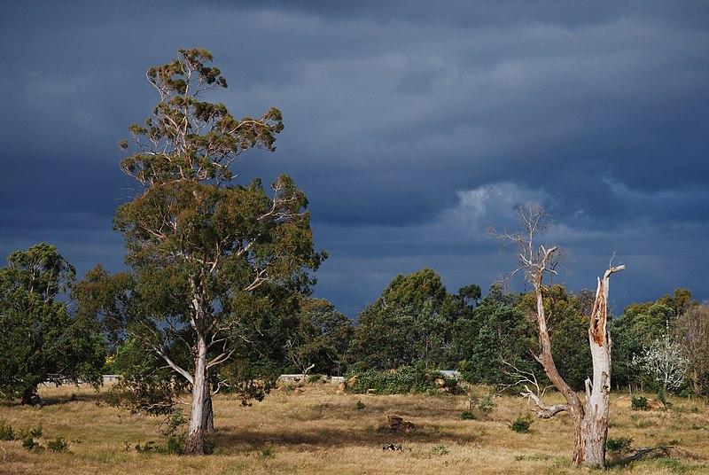 Moodily lit eucalypts - carrick tasmania.JPG