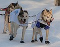 More sled dogs - 2013 Iditarod Ceremonial Start.jpg