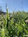 Morning dew in the field.jpg