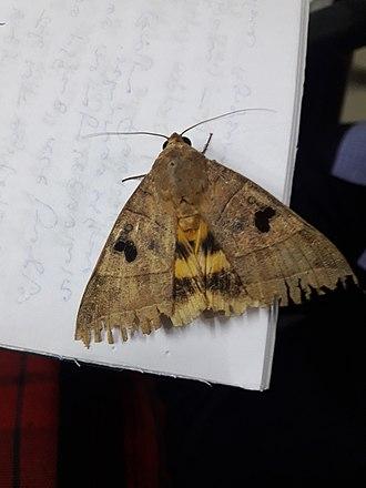 Moth - Moth from Kerala, India