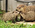 Mother Groundhog With Two of Seven Offspring.jpg