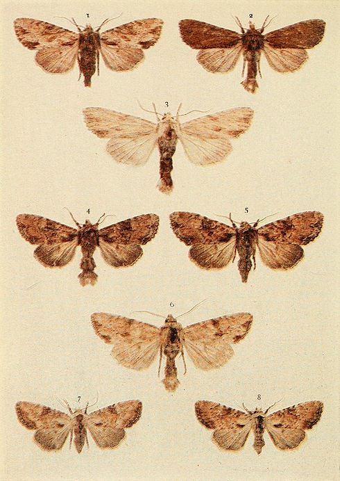 Moths of the British Isles Plate135.jpg