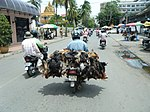 Motorbicylist carrying dead chickens on motorbike.jpg