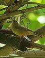 Mountain Chiffchaff (Phylloscopus sindianus) (20585139121).jpg