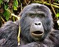Mountain Gorilla, Bwindi, Uganda (16151885435).jpg