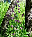 Mountain Larkspur, Lake Gregory 4-11-15 (17132739936).jpg