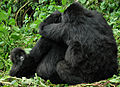 Mountain gorillas (8116894853).jpg