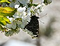 Mourning cloak nectaring on cherry blossoms 1 - cropped.jpg