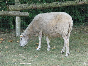 Signe du Mouton dans MOUTON