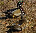 Mr. and Mrs. Wood Duck Taking a Stroll - Flickr - Andrea Westmoreland.jpg