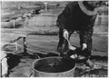 Muck is applied to fish eggs to prevent them from sticking together - NARA - 285742.tif