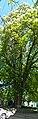 Muhlhausen's chestnut-tree3.jpg