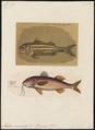 Mullus surmuletus - - Print - Iconographia Zoologica - Special Collections University of Amsterdam - UBA01 IZ13000313.tif