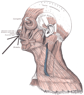 Levator labii superioris alaeque nasi muscle - Muscles of the head, face, and neck. (Levator labii superioris alaeque nasi labeled as the quad. labii sup. closest to nose.)
