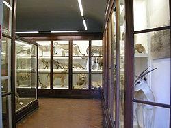 Museo della specola, felidi.JPG