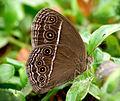Mycalesis 1 by Kadavoor-2.jpg