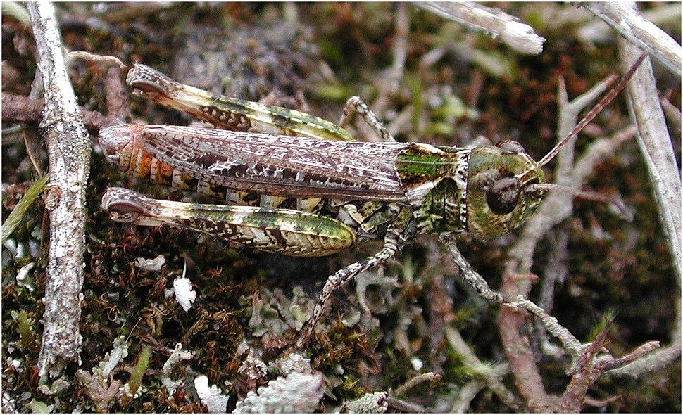 Myrmeleotettix maculatus f 11393