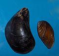 Mytilus galloprovencialis 001.jpg
